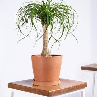 Bloomscape Potted Ponytail Palm Live Plant - Medium