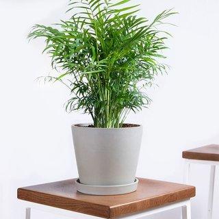 Bloomscape Potted Parlor Palm Live Plant - Medium