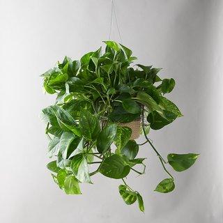 Terrain Pothos Plant, Hanging Jute Basket