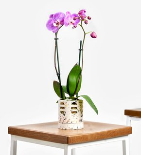 Bloomscape Orchid Phalaenopsis