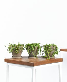 Bloomscape String of Succulents Collection