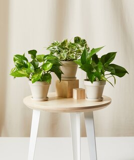 Bloomscape Pothos Collection