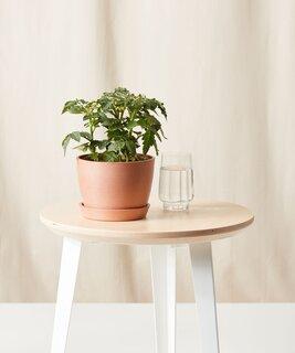 Bloomscape Micro Tomato