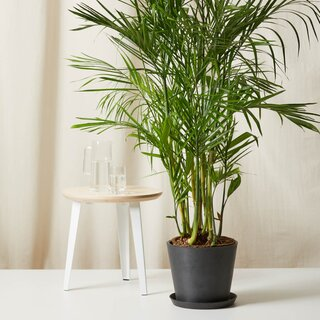 Bloomscape Bamboo Palm