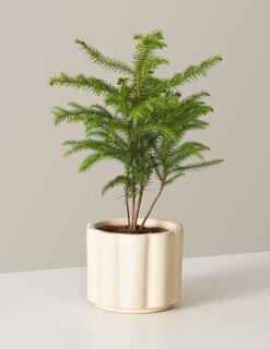 The Sill Norfolk Island Pine