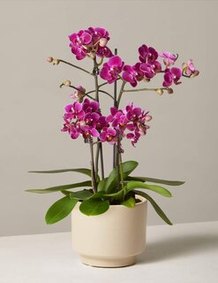 The Sill Purple Orchid