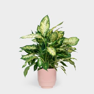 Related to the philodendron, the dieffenbachia contains the same oxalate crystals. However, unlike philodendrons, dieffenbachia ingestion usually produces only mild-to-moderate symptoms. If a leaf is chewed, it can cause a oral irritation, intense burning, and irritation of mouth, tongue and lips, excessive drooling, difficulty swallowing, and vomiting. Other names include charming dieffenbachia, giant dumb cane, tropic snow, dumbcane, exotica, spotted dumb cane, and exotica perfection.