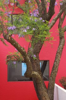 Once a year, the jacaranda tree blooms and the lilac flowers fall, leaving a blossoming carpet in the courtyard below.