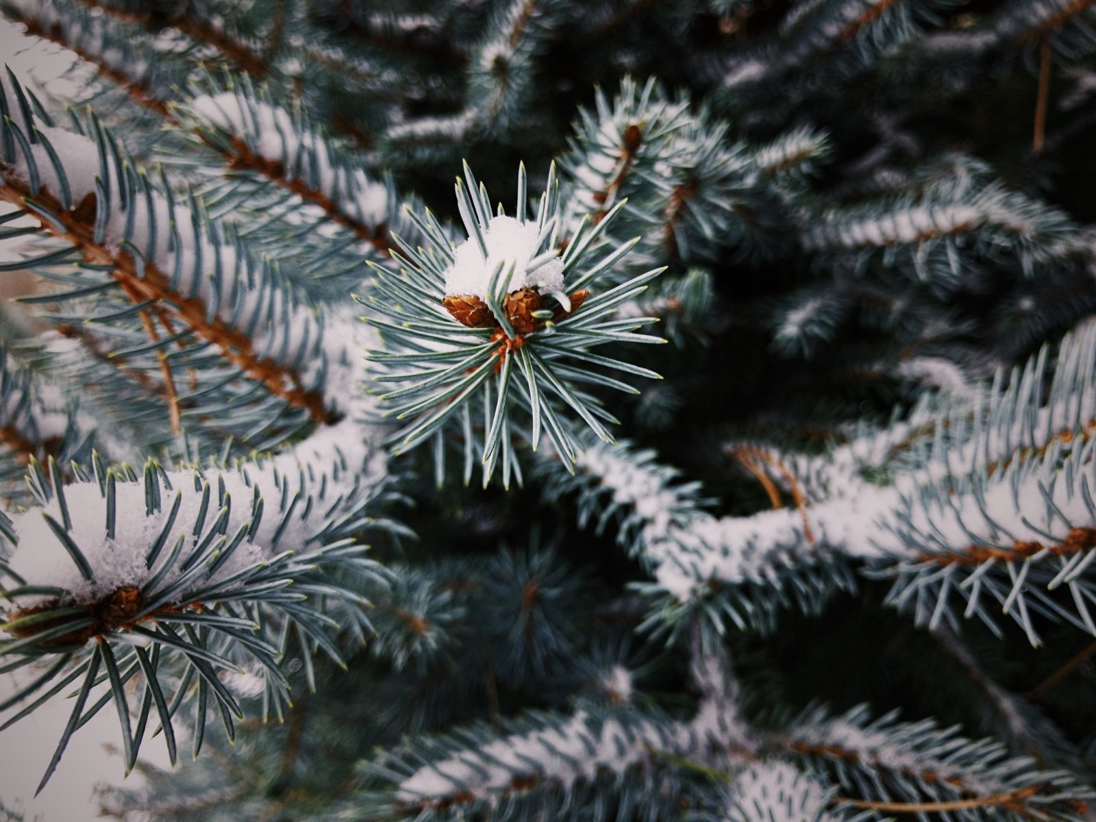 Snow rests gently on evergreen needles on a cold, winter day.  Photo 7 of 10 in VSCO RAW/X and Topo Designs
