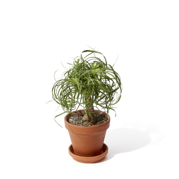 Bloomscape Ponytail Palm