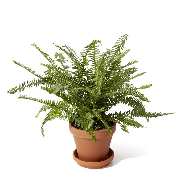 Bloomscape Kimberly Queen Fern