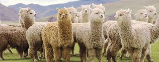 All About Alpaca