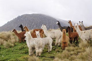 All About Alpaca - Photo 1 of 3 - Alpacas were raised for their fleece, which was exclusively worn by royalty; Source: Philippe Lavoie/Wikimedia Commons