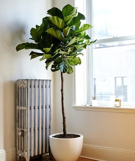 Fiddle leaf fig plants are great for early risers; Source: Sidney Bensimon/The Sill