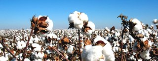 What Is Egyptian Long-Staple Cotton?