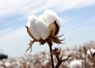 When a cotton plant is exposed to extreme temperatures, water stress or nutrient deficient soil, it will produce shorter fibers – and weaker weaves; Source: Cotton Australia