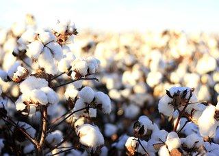Authentic Egyptian long-staple cotton is the top dog of quality Bedding; Source: Denim Hunters