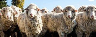 What Is Merino Wool?